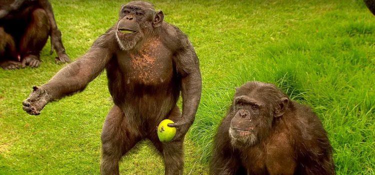 Schimpansen – Sozialleben