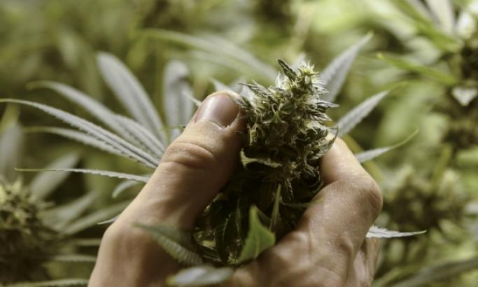 Ein Geschenk an die Menschheit: Anhand dieses Kannabisöl-Rezeptes wurden mehr als 5000 Menschen vom Krebs geheilt. (VIDEO)
