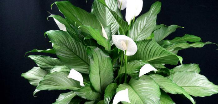 """Einblatt (Spathiphyllum) – das """"Frauenglück"""": magische Pflanze für Frauen"""