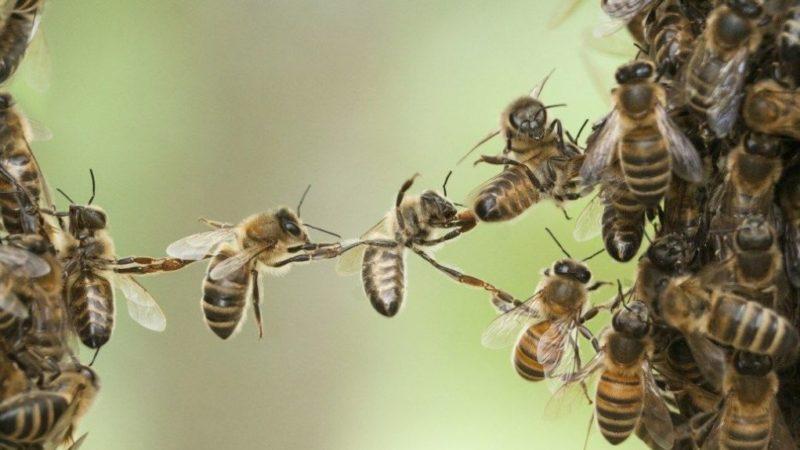 Ein Pilz rettet Millionen von Bienen vor einem tödlichen Virus