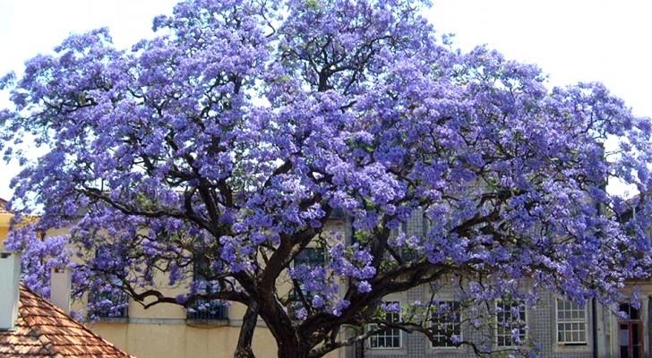 """Der """"Kaiserinbaum"""" wächst in Rekordzeit und kann bis zu viermal mehr Sauerstoff produzieren als die anderen"""