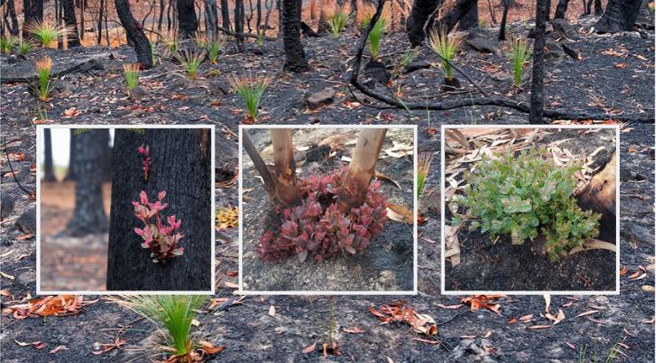 Atemberaubende Fotos: Pflanzen in feuerverwüsteten Landschaften in Australien beginnen tatsächlich bereits nachzuwachsen