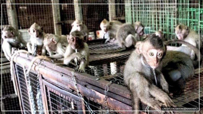 Angekettete Affen werden in Indonesien auf Märkten für je 5 US-Dollar verkauft