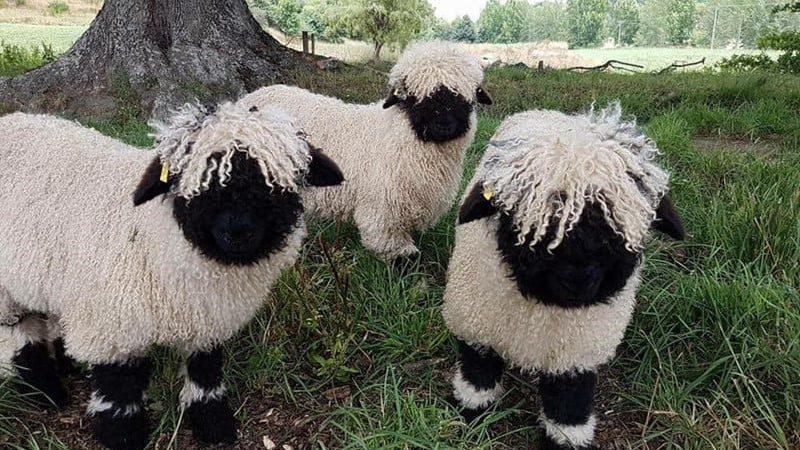 Schwarznasenschafe sehen aus wie niedliche Stofftiere und sind hervorragende Haustiere